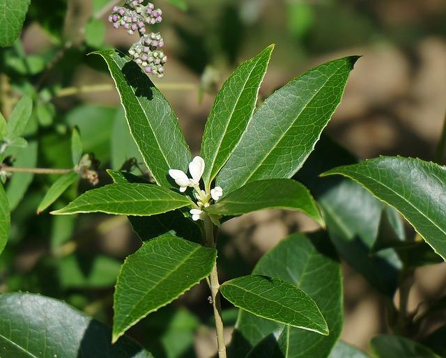 sladké olivové květy